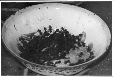 comer-formigas_hormigas_eat-ants_eet-mieren_manger-fourmis